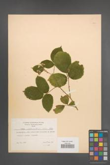 Rubus pedemontanus [KOR 8762]