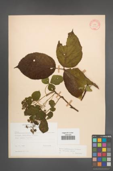 Rubus pedemontanus [KOR 10565]