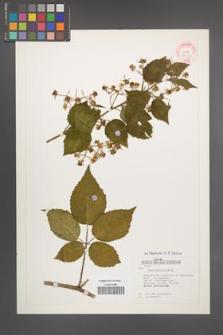 Rubus pallidus [KOR 31503]