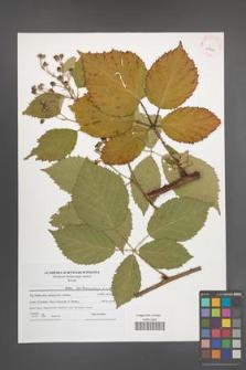 Rubus parthenocissus [KOR 41490]