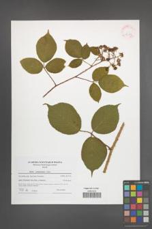Rubus pedemontanus [KOR 42143]