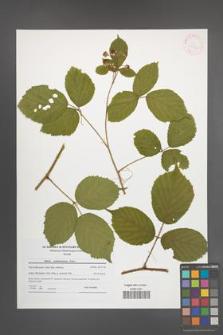 Rubus pedemontanus [KOR 41544]