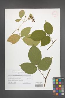 Rubus pedemontanus [KOR 41997]