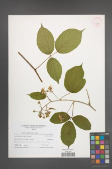 Rubus pedemontanus [KOR 40638]
