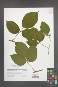 Rubus pedemontanus [KOR 42345]