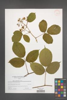 Rubus pedemontanus [KOR 43286]