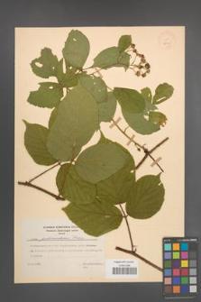Rubus pedemontanus [KOR 28029]