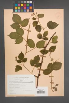 Rubus pedemontanus [KOR 23442]