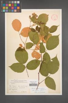 Rubus pedemontanus [KOR 10555]