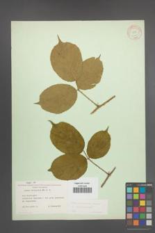 Rubus pedemontanus [KOR 10551]