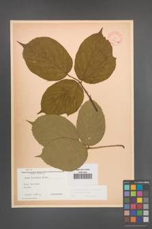 Rubus pedemontanus [KOR 10563]