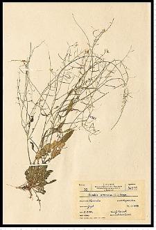 Cardaminopsis arenosa (L.) Hayek