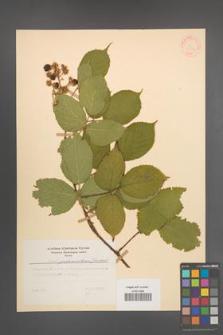 Rubus pedemontanus [KOR 31383]