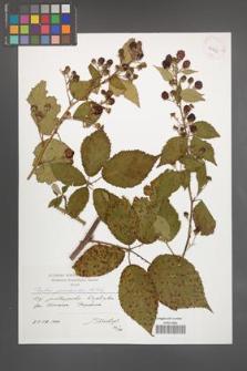 Rubus perrobustus [KOR 41308]