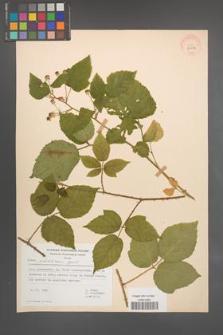 Rubus pfuhlianus [KOR 29612]