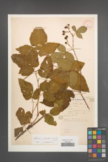 Rubus plicatus [KOR 10902]