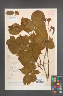 Rubus plicatus [KOR 10883]