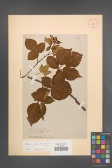 Rubus plicatus [KOR 10881]