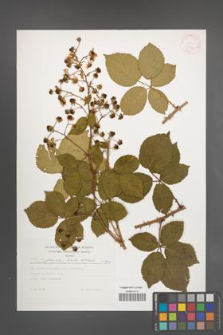 Rubus plicatus [KOR 30430]