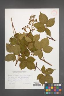 Rubus plicatus [KOR 30536]