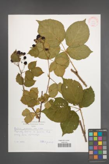 Rubus plicatus [KOR 30535]