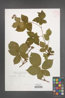 Rubus plicatus [KOR 30576]