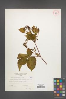 Rubus plicatus [KOR 6056]