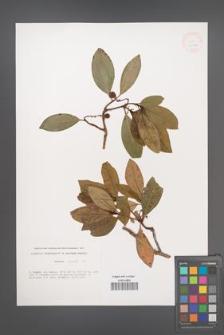 Arbutus unedo [KOR 33272]