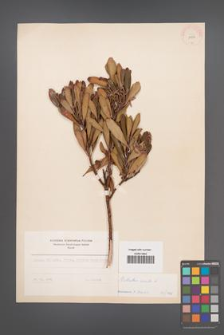 Arbutus unedo [KOR 11902]