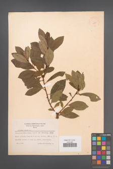 Arbutus unedo [KOR 11899]
