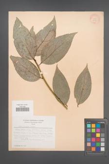 Sabia japonica [KOR 28885]