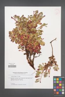 Arctous alpina [KOR 46391]