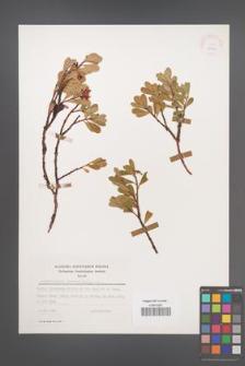 Arctostaphylos uva-ursi [KOR 25467]