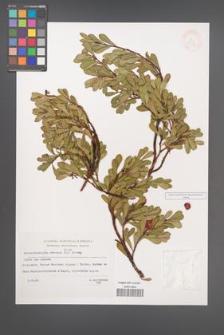 Arctostaphylos uva-ursi [KOR 33014]