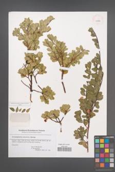 Arctostaphylos uva-ursi [KOR 43790]