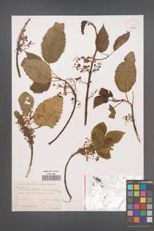 Aristotelia serrata [KOR 43840]