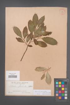Aronia ×prunifolia [KOR 348]