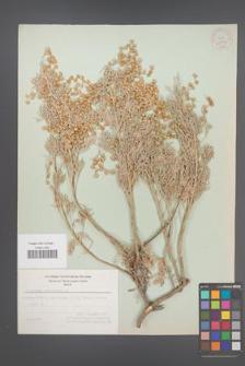 Artemisia arborescens [KOR 21163]