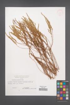 Artemisia hispanica [KOR 33074]