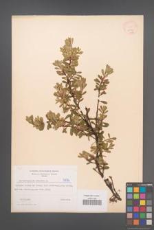 Arctostaphylos uva-ursi [KOR 4174]