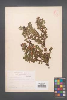 Arctostaphylos uva-ursi [KOR 3802]