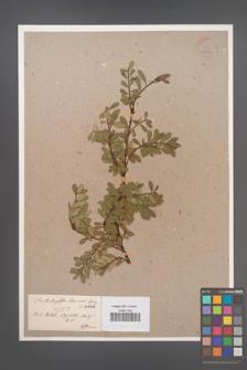 Arctostaphylos uva-ursi [KOR 3612]