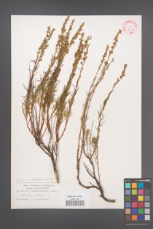 Artemisia salsoloides [KOR 32076]