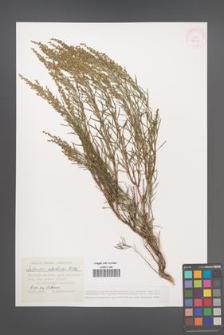 Artemisia salsoloides [KOR 38658]
