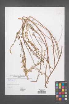 Artemisia [KOR 46418]