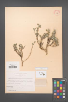 Artemisia [KOR 11940]