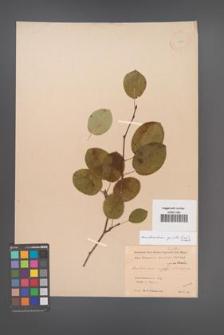 Amelanchier spicata [KOR 11689]