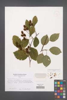 Alnus alnobetula [KOR 48926]