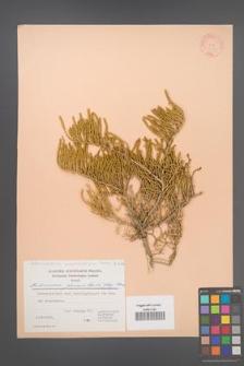 Arthrocnemum macrostachyum [KOR 21153]