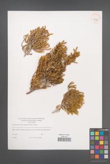 Arthrocnemum macrostachyum [KOR 39453]